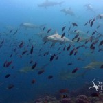 Hammerhead Sharks Schooling
