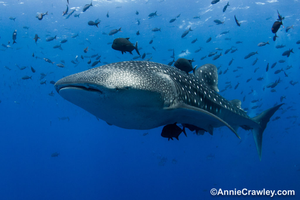 Snorkel With Whale Sharks at Midriff Islands with Annie Crawley