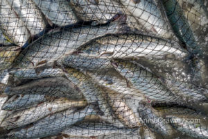 Farmed Atlantic salmon escaped from Cooke Aquaculture net pens.