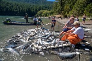Lummi Nation fishermen worked to clean up the Cooke Aquaculture escaped farmed Atlantic salmon in the Puget Sound.