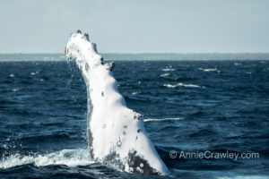 Pectoral fin slaps swim with humpback whales