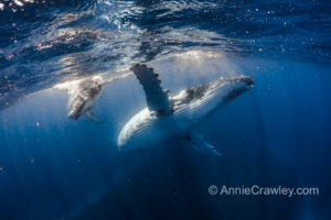 Swim with Mother and Baby Humpback Whales