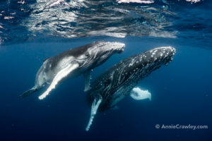 Mother and Baby Humpback Whale Tonga Annie Crawley Swim with Humpback Whales