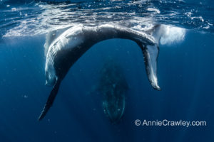 Baby dances around mama humpback whale